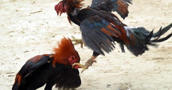 Jenis Ayam Lokal Asli Indonesia Yang Melegenda